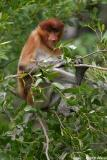 Proboscis Monkey - female