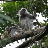 Silvered Langurs - mother with baby