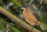 Victoria's Riflebird (duwuduwu) female