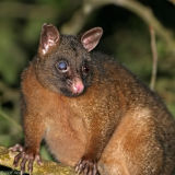 One-eyed Coppery Brushtail possum