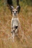 Roo in rain - Grey kangaroo