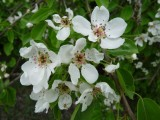 BLOSSOM OF WILD PEAR