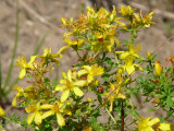 COMMON ST JOHN'S WORT
