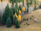 Aspen & Spruce on the Kaibab