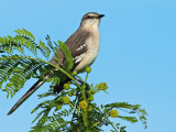 Northern  Mockingbird (Mimus polyglottos) 12