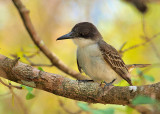 Loggerhead Kingbird (Tyrannus caudifasciatus) 4