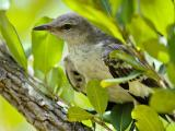 Junenile Northern Mockingbird (Mimus polyglottos)