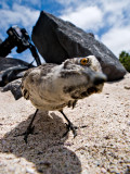 Hood Mockingbird (Nesomimus macdonaldi) 2