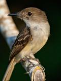 Loggerhead Kingbird (Tyrannus caudifasciatus) 3