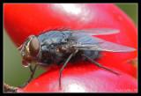 Fly on rose hips