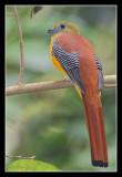 Orange-breasted Trogon, Thailand