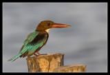 White-throated Kingfisher, Thailand