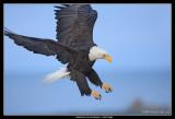 Bald Eagle, Alaska