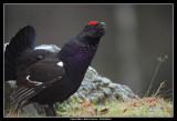 Capercaillie x Black Grouse, Sweden