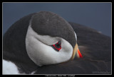 Atlantic Puffin at rest, Iceland
