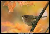 Willow Warbler in Autumn Maple