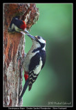 Birds of Sweden; Woodpeckers