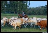 Cattle Drive, Swedish Style...