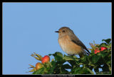 Redstart, Falsterbo