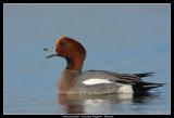 Eurasian Widgeon, Lund