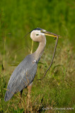Great Blue Heron with Snake I