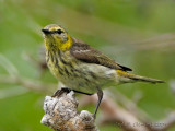 Cape May Warbler Female
