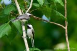 A Pair of Chickadees