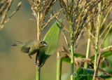 Painted Bunting Female in the Corn