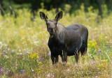 Smug Moose Calf