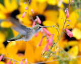 Hummingbird with a Background of Sunflowers
