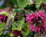 Rufous Hummingbird with Beebalm