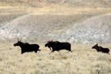 Moose Family on the Run