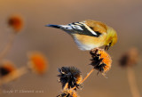 Western Goldfinch