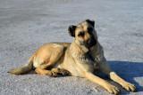 Anatolian Shepherd Dog at the Salt Lake