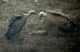 Rüppell's Vulture - Gyps rueppellii - Buitre Moteado - Voltor de Rüppel