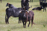 Caws and Bulls in dehesa