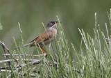 Spectacled Warbler - Sylvia conspicillata - Curruca tomillera - Tallarol trencamates