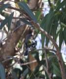 North African Chaffinch - Fringilla coelebs africana - Pinzón común africano - Pinsà comú africà