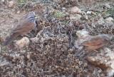 House Bunting - Emberiza striolata sahari - Escribano sahariano - Sit de Vila