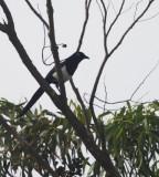 North African Magpie - Pica pica mauretanica - Urraca Magrebí - Garsa del Magreb