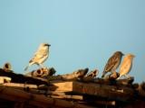 Desert Sparrow - Passer simplex - Gorrión del desierto - Pardal del Desert
