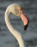 Greater Flamingo - Phoenicopterus ruber roseus - Detalle de la cabeza de un Flamenco - Detall del cap d'un Flamenc