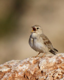 Male Pale Rock Sparrow - Carpospiza brachydactyla