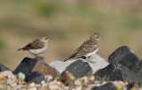 Young Horned Lark and Common Wheatear - Eremophila alpestris penicillata