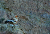 Egyptian Vulture - Neophron pernopterus - Alimoche - Aufrany