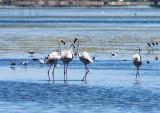 Greater Flamingo - Phoenicopterus ruber - Flamenco - Flamenc
