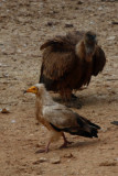Adult Egyptian Vulture and Griffon Vulture in Ports de Tortosa - Beseit - Neophoron percnoterus - Alimoche y Buitre leonado