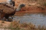 Griffon vulture in Ports - Gyps fulvus - Buitre leonado - Voltor comú