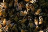 Honey bees plus queen