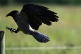 Hooded crow - Corvus cornis - Corneja cenicienta - Cornella emmantellada